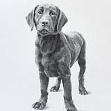 Hector, pencil drawn portrait by Simon Taylor